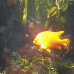 Garibaldi in the California Channel Islands