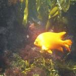 Garibaldi in the California Channel Islands