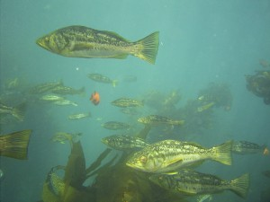 Fish seen at Catalina Island whilst working as a scuba instructor