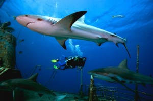 Sharks are apex predators.   They keep the oceans healthy by removing sick aquatic animals and keeping fish populations under control.  Shark Conservation is essential for ocean sustainability.